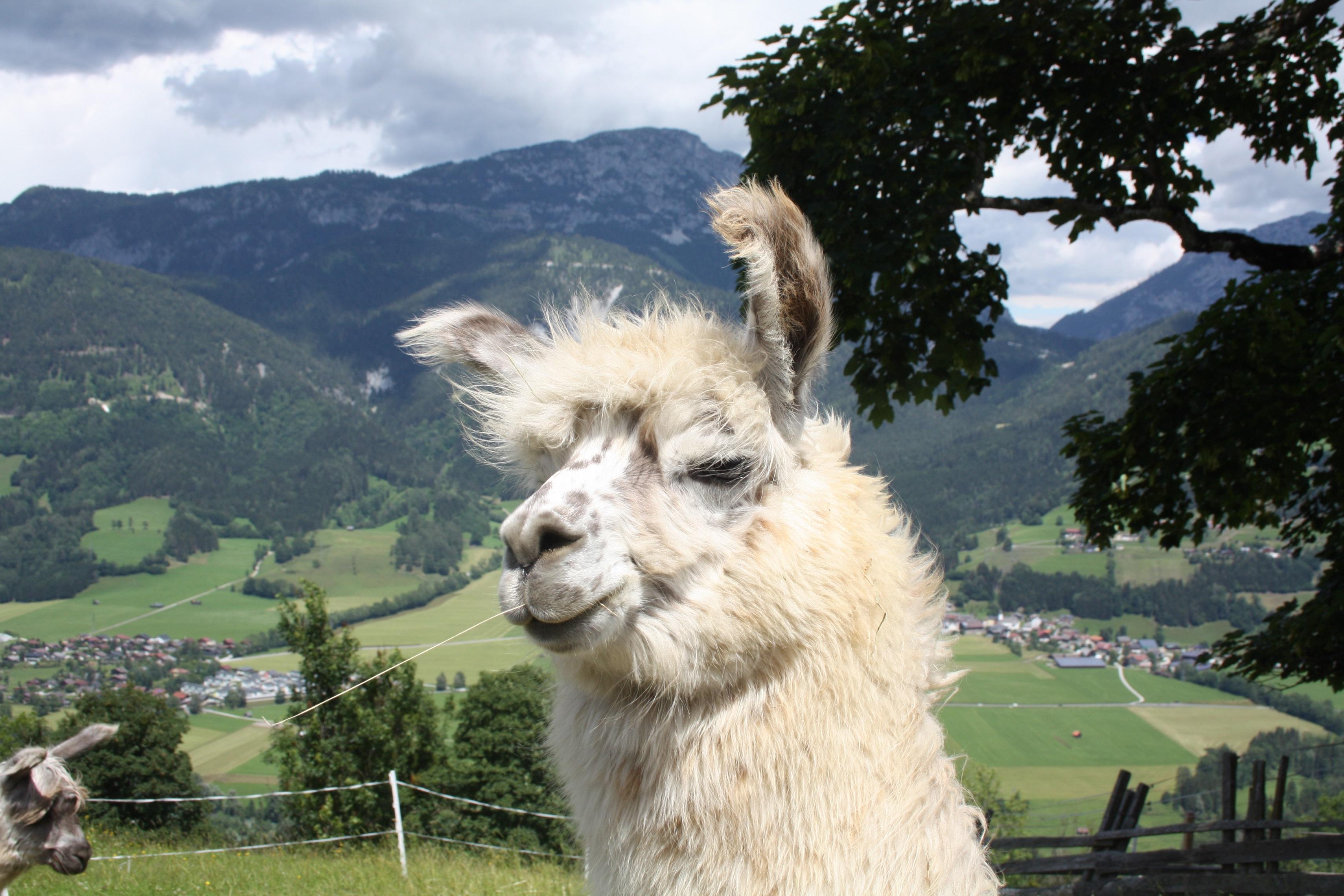 Lama und Alpaka Begegnungen am Klausnerhof   Schladming Dachstein